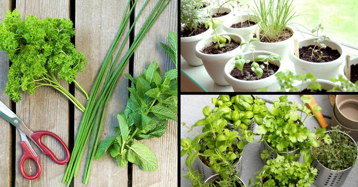 pudina plants