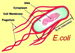 ecoli-cell