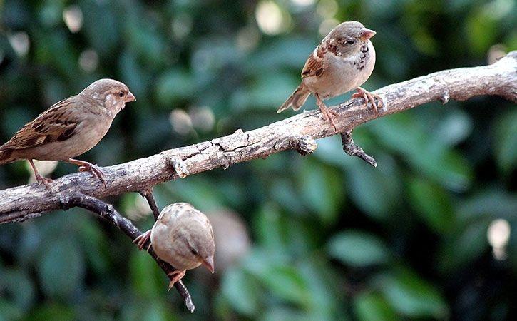 sparrows_1521524934