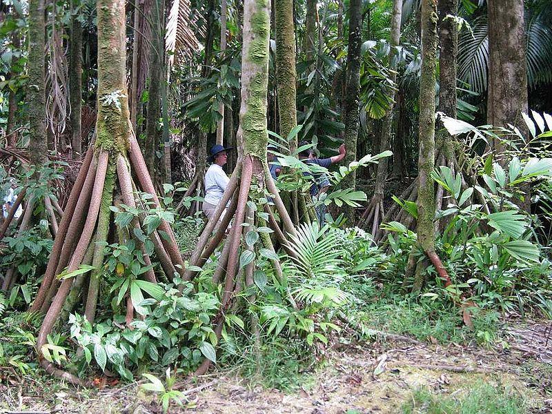 socratea-exorrhiza-walking-palms-6